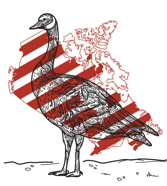Canada Goose vector art illustration