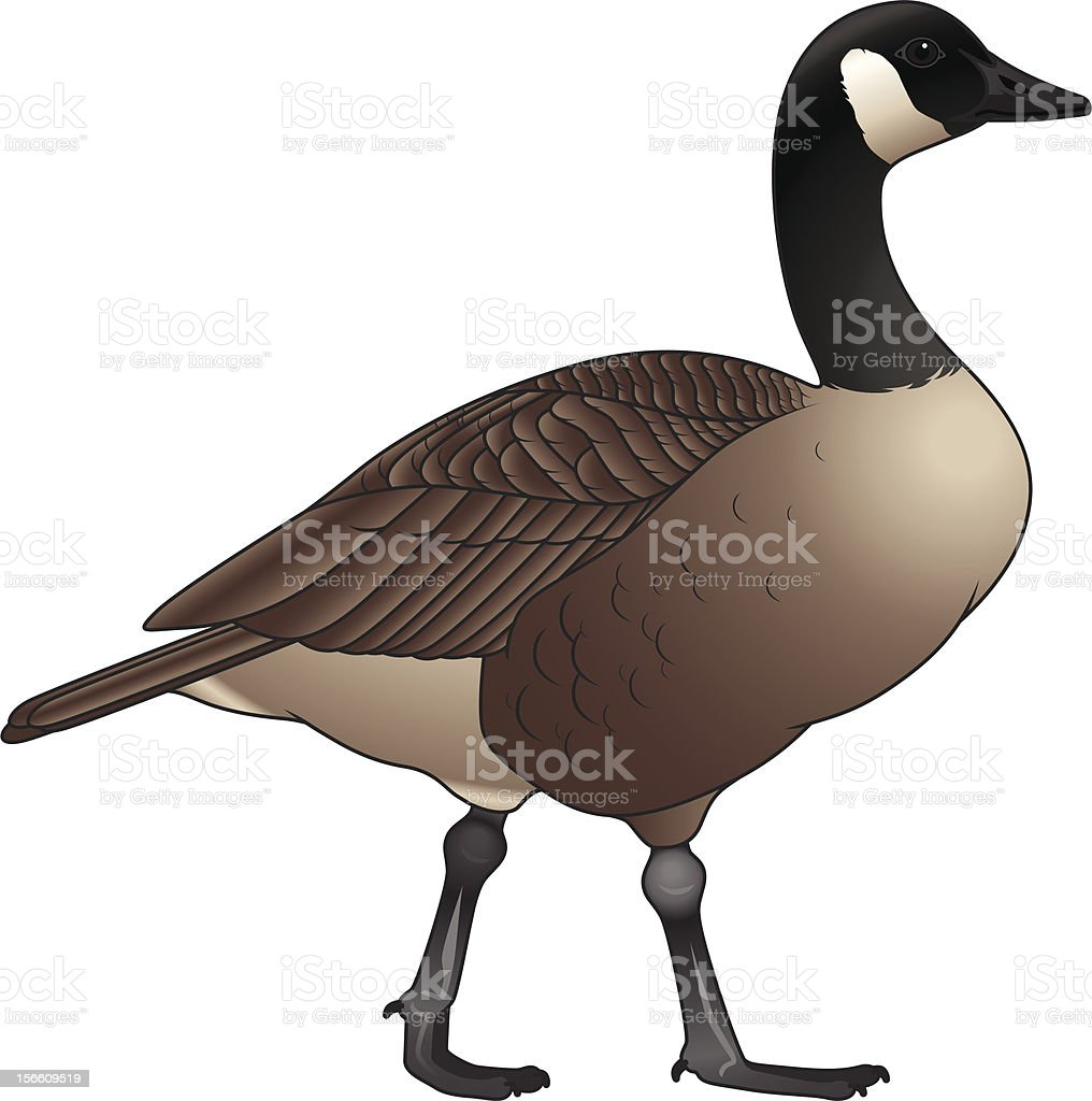 royalty free canada goose clip art vector images illustrations rh istockphoto com goose clip art free geese clip art images