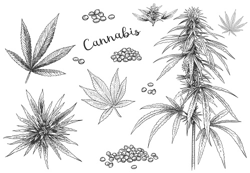 Cannabis hand drawn. Hemp seeds, leaf sketch and cannabis plant vector illustration set