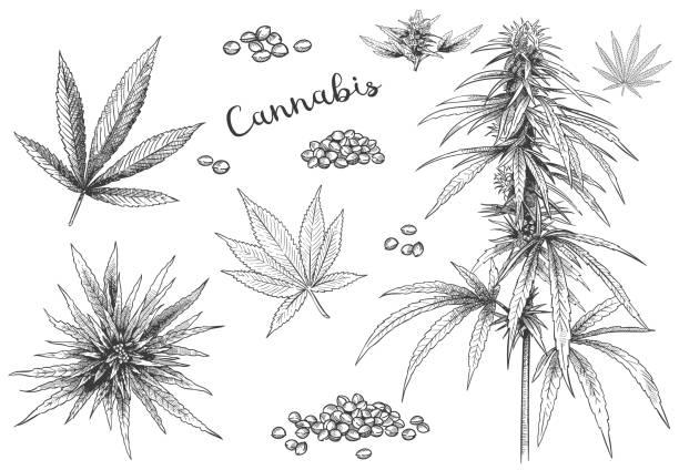 cannabis handgezeichnet. hanfsamen, blattskizze und cannabis-pflanzenvektor-illustration-set - blütenstand stock-grafiken, -clipart, -cartoons und -symbole