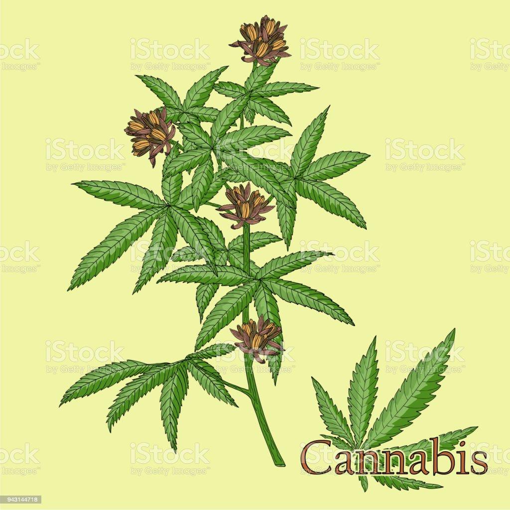 Cannabis Illustration Dune Plante Dans Un Vecteur Avec Fleur Devant