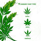 Cannabis sativa, indica and ruderalis leaves vector illustration.