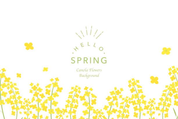 stockillustraties, clipart, cartoons en iconen met koolzaad bloemen achtergrond afbeelding - lente