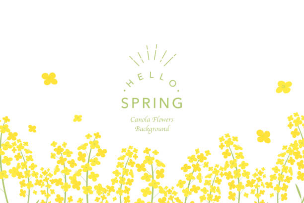 Canola flowers background illustration Vector illustration spring stock illustrations