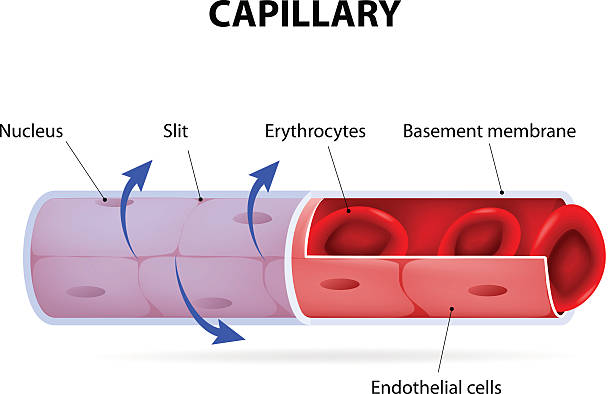 Capillary. blood vessel. labelled Capillary. blood vessel. labelled. Vector Diagram epithelium stock illustrations