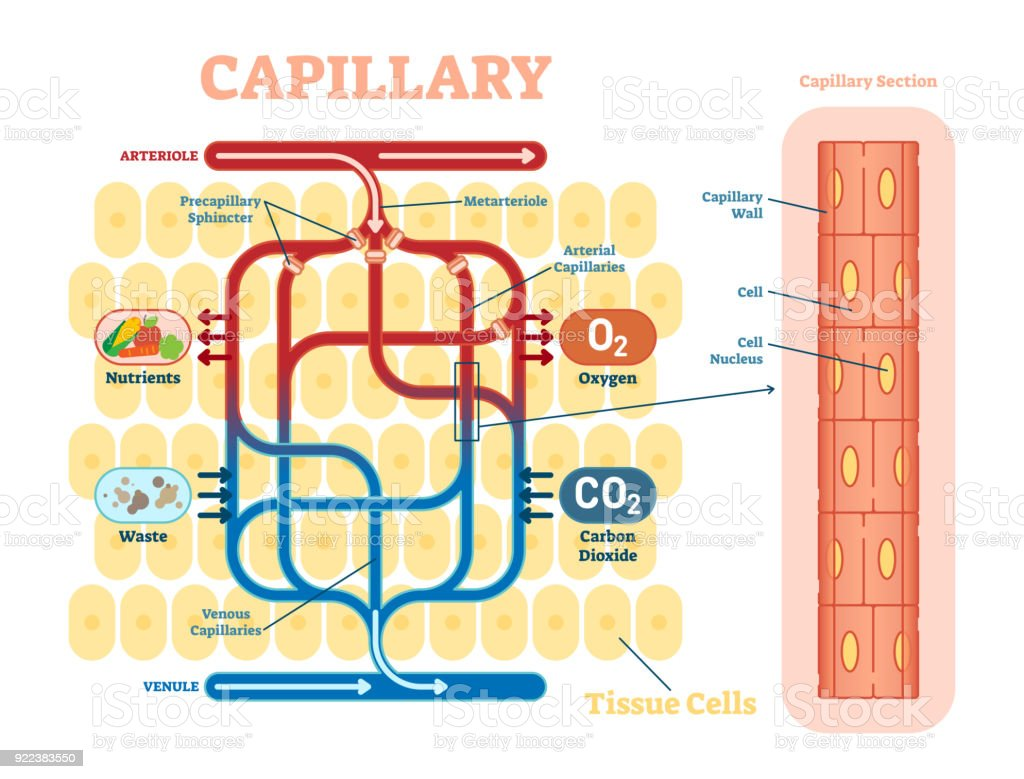Capillary schematic, anatomical vector illustration diagram with blood flow.
