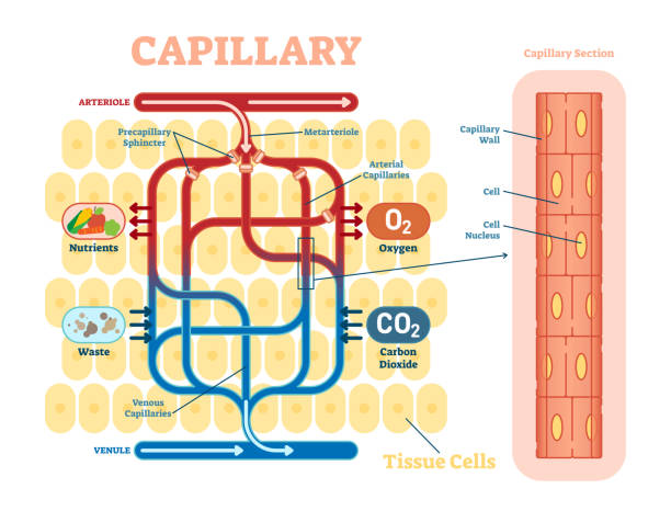 Capillary schematic, anatomical vector illustration diagram with blood flow. Capillary schematic, anatomical vector illustration diagram with blood flow. Educational information poster. alveolus stock illustrations