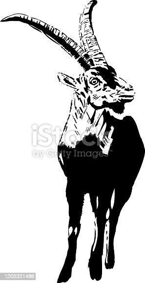 istock Capra pyrenaica hispanica - Montserrat B&W illustration 1205331486