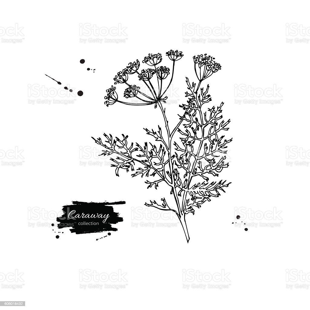 Caraway plant vector hand drawn illustration. Isolated spice obj vector art illustration