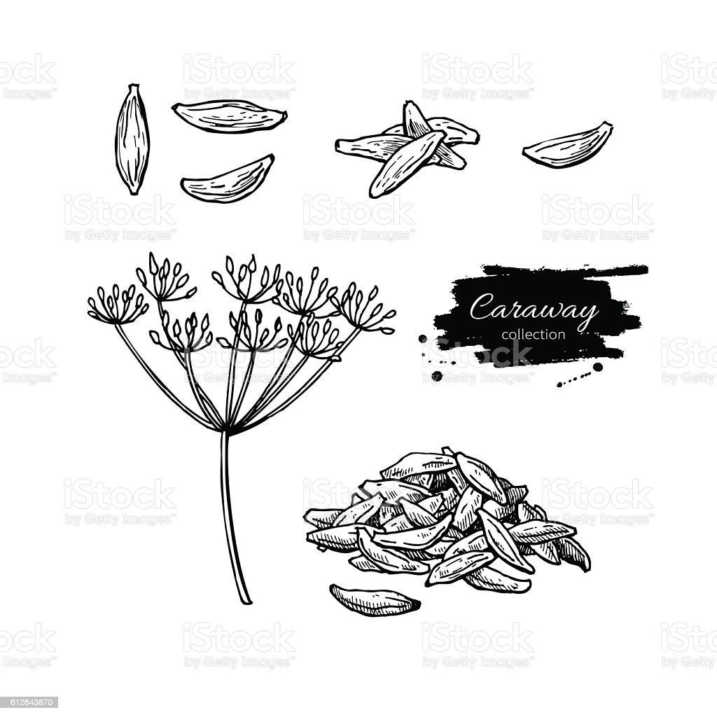 Caraway vector hand drawn illustration set. Isolated spice objec vector art illustration