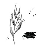 Cardamom plant vector hand drawn illustration. Isolated spice ob