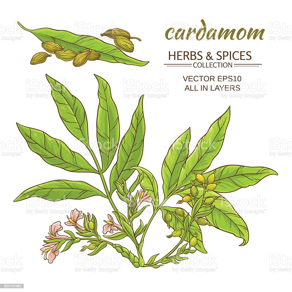 cardamom vector set vector art illustration