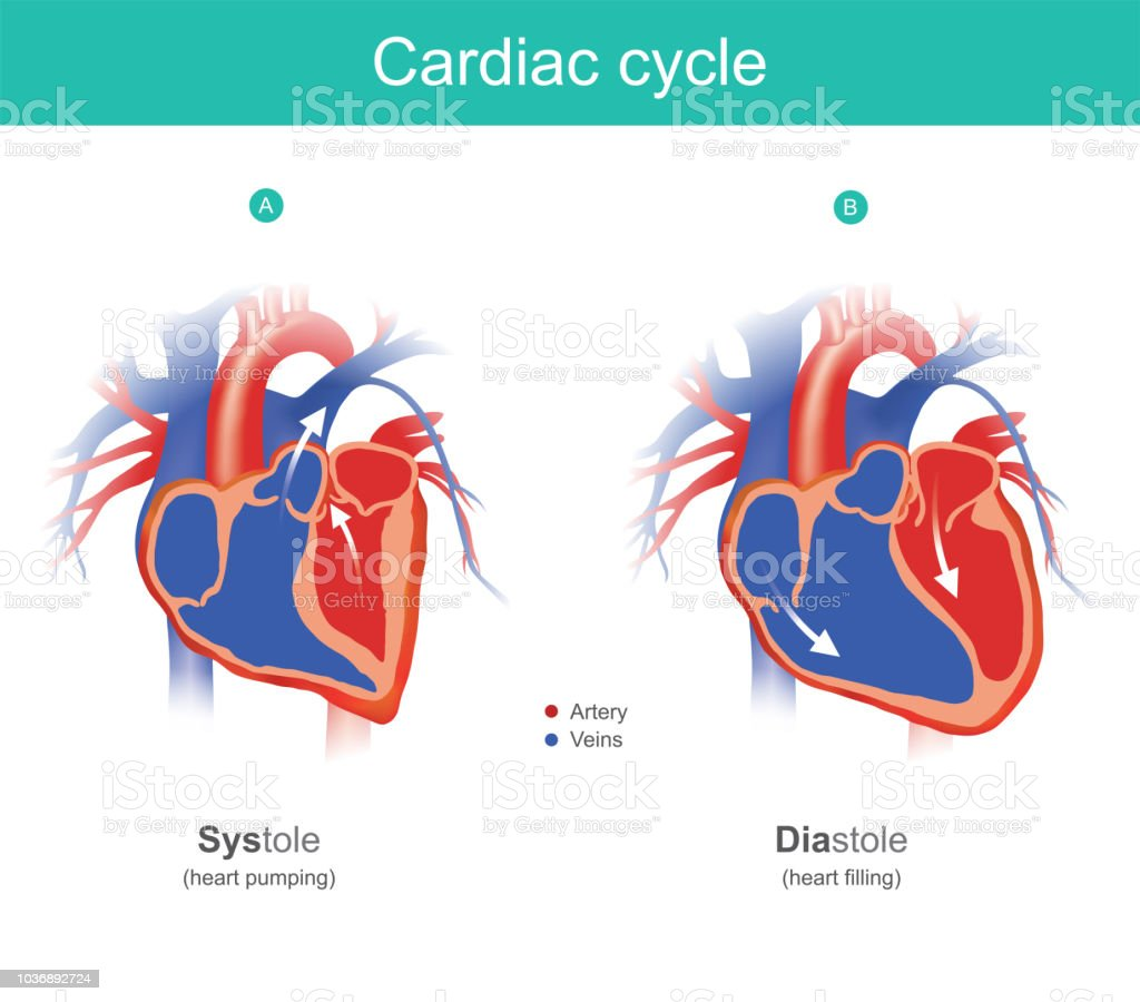 Cardiac cycle infographic. The heart is the organ of the human body that pumps blood to the body. Anatomy infographic. vector art illustration