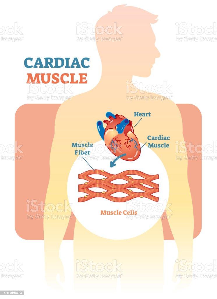 Ilustración de Diagrama De Ilustración Vectorial De Músculo Cardiaco ...