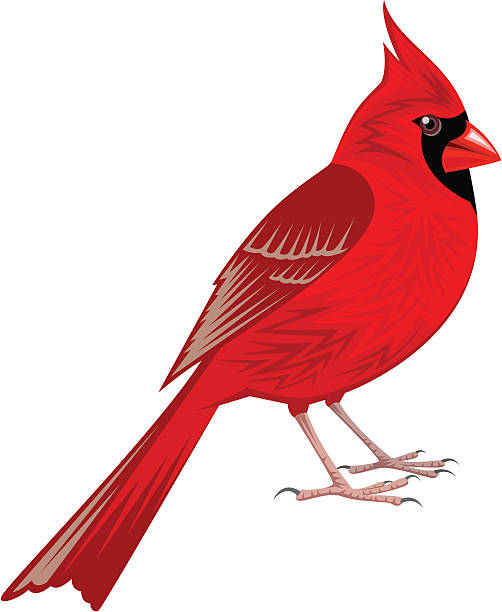 Best Cardinal Illustrations, Royalty-Free Vector Graphics ...