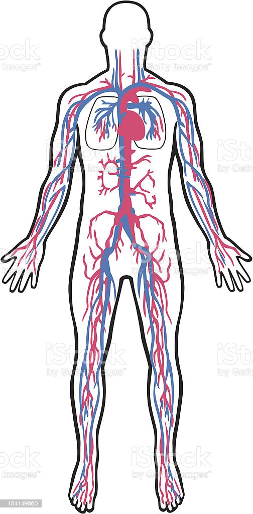 Cardiovascular system royalty-free cardiovascular system stock vector art & more images of adult