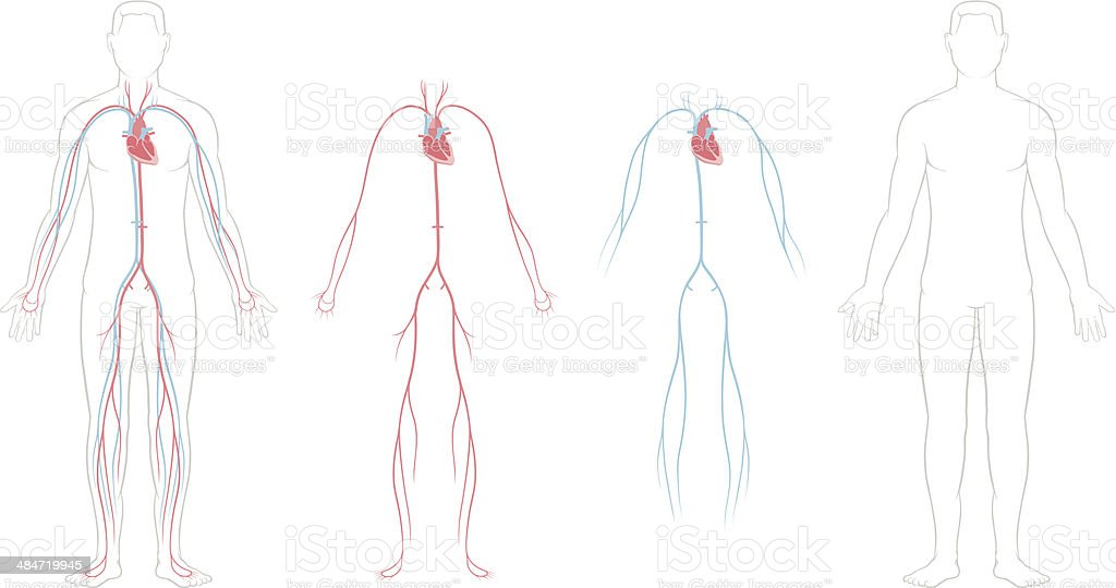 Cardiovascular System royalty-free cardiovascular system stock vector art & more images of anatomy