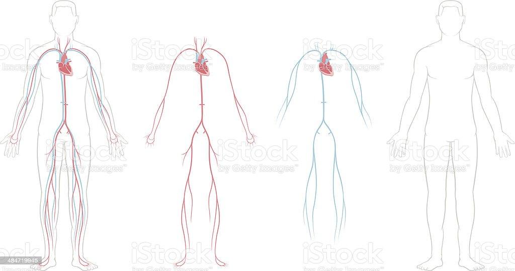 Cardiovascular System vector art illustration