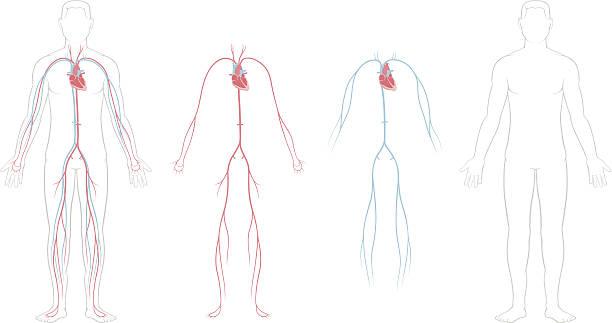 stockillustraties, clipart, cartoons en iconen met cardiovascular system - bloedvat