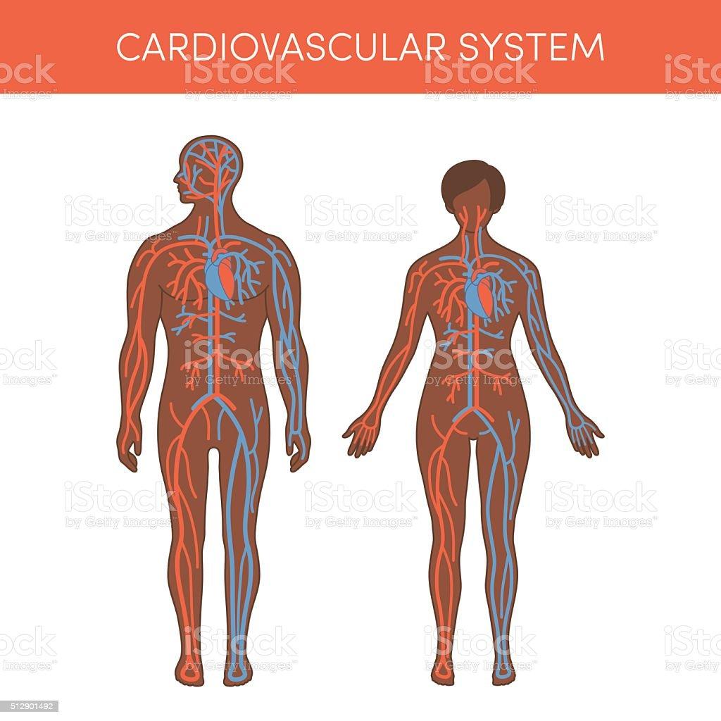 Cardiovascular system vector vector art illustration