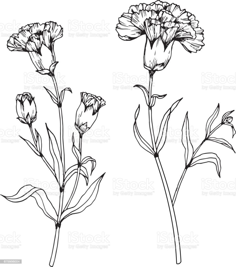 Line Drawing Flower Vector : Carnation flowers drawing and sketch with lineart on white