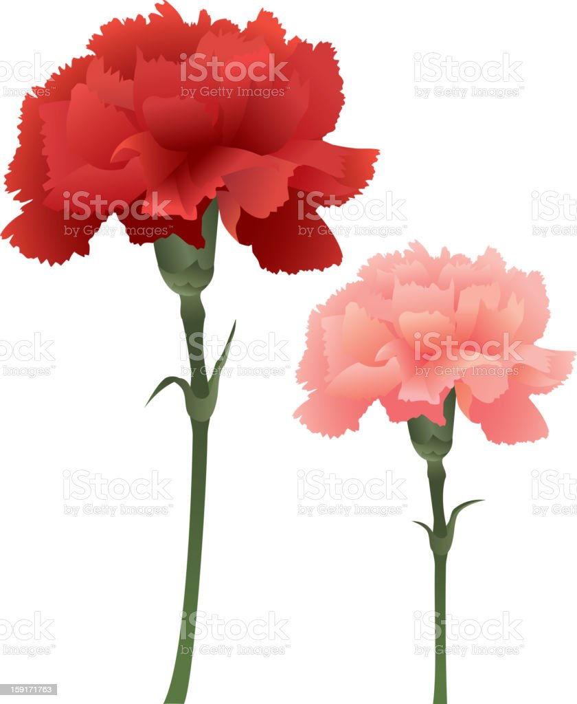 Carnation royalty-free carnation stock vector art & more images of beauty