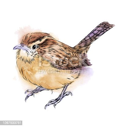 istock Carolina Wren Drawn in Pen and Ink. EPS10 Vector Illustration 1267533751