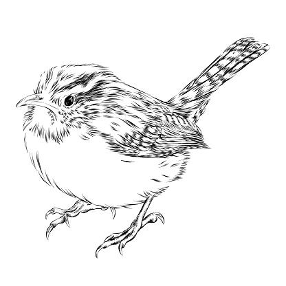 Carolina Wren Vector Ink Drawing