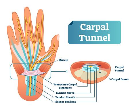 Carpal tunnel vector illustration scheme. Medical labeled diagram closeup with muscle, transverse carpal ligament, median nerve, tendon sheath, flextor tendons and bones.