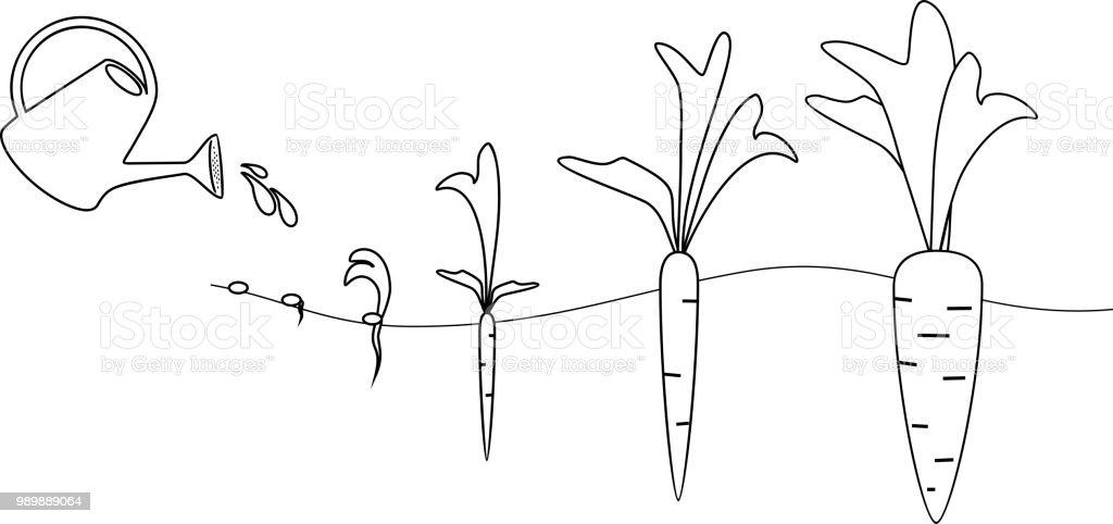 Ilustración De Etapas De Crecimiento De La Zanahoria Para Colorear Y