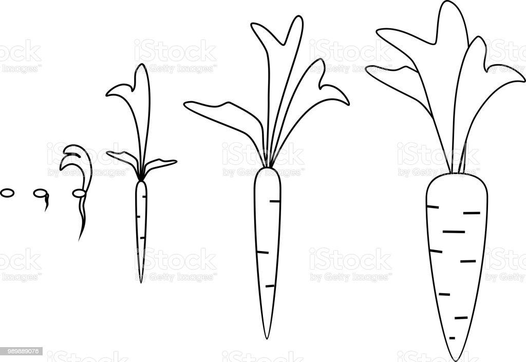 Ilustración De Etapas De Crecimiento De La Zanahoria Para