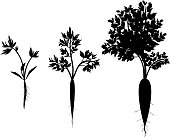 Carrot growth stages. Silhouettes of carrot