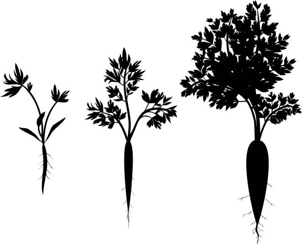 carrot growth stages. silhouettes of carrot - root vegetable stock illustrations