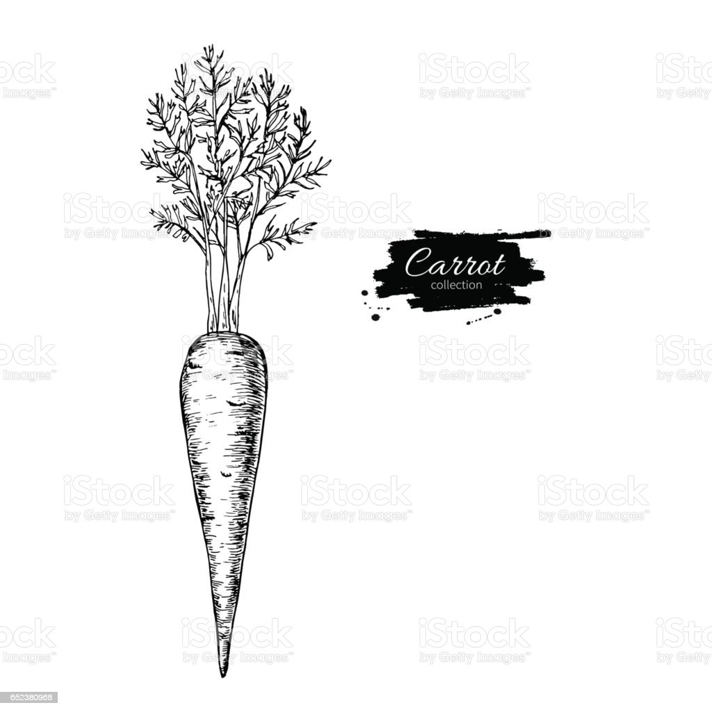 Carrot hand drawn vector illustration. Isolated Vegetable engrav vector art illustration