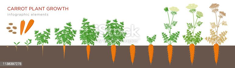 Carrot plant growth stages infographic elements. Growing process of carrot from seeds, sprout to mature taproot, life cycle of biennial plant isolated on white background vector flat illustration.