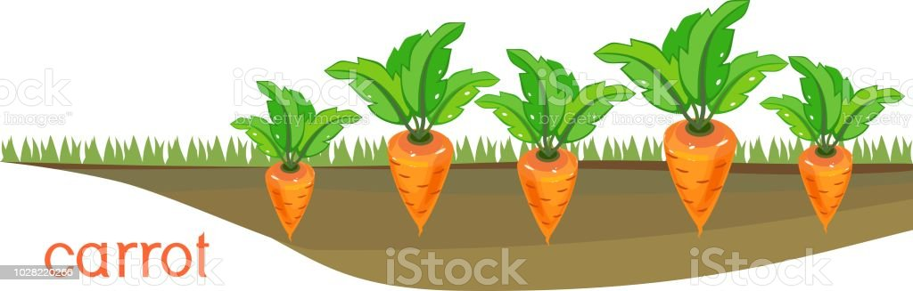 Carrot plants on vegetable patch