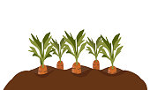 Carrots in the garden bed. Illustration  showing how carrots grow. Vector illustration in cartoon style isolated on white