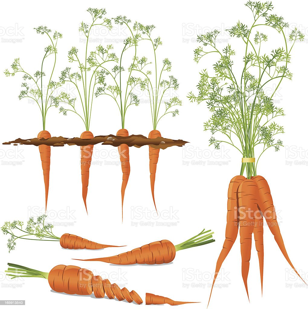 Carrots vector art illustration