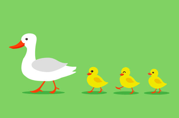 Cartoon Color Duck and Different Little Ducks Set. Vector Cartoon Color Duck and Different Little Ducks Set on a Green Background. Vector illustration of Bird Mother and Baby duck stock illustrations