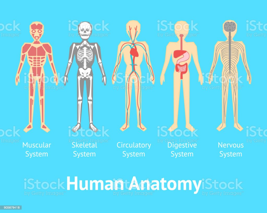 Cartoon Color Human Anatomical System Card Poster Vector Stock