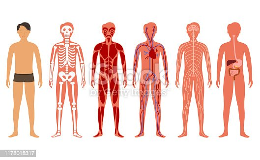 Cartoon Color Human Body Anatomy System Set Include of Skeleton, Digestive, Circulatory and Nervous. Vector illustration