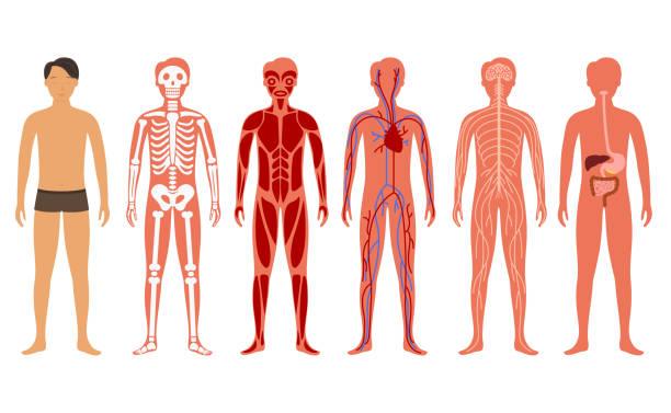 illustrazioni stock, clip art, cartoni animati e icone di tendenza di cartoon color human body anatomy set. vettore - il corpo umano