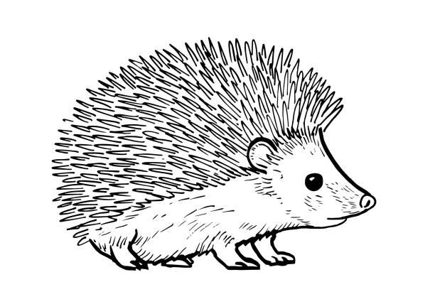 cartoon-zeichnung eines niedlichen hedgehod - igel stock-grafiken, -clipart, -cartoons und -symbole