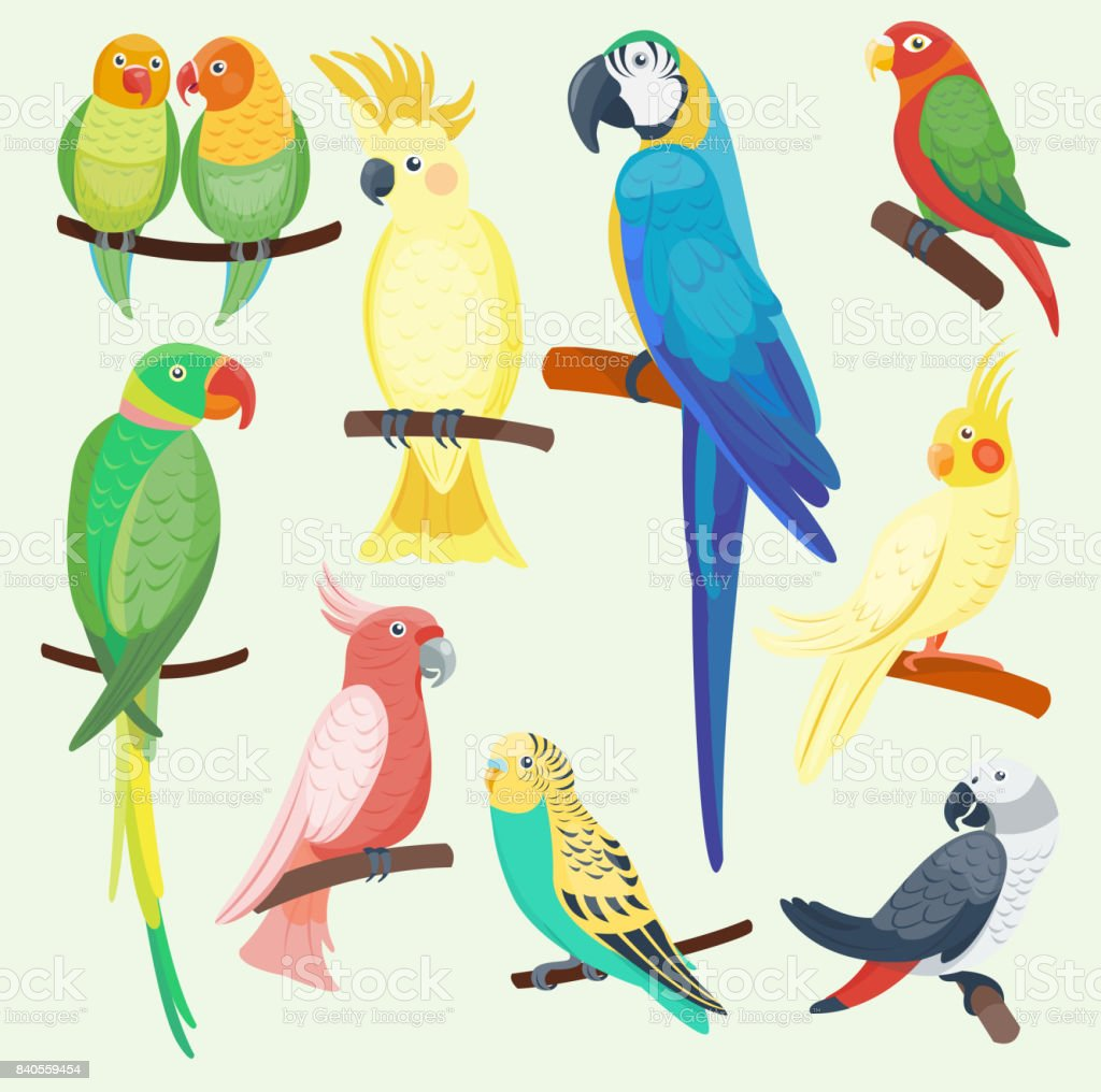 Cartoon parrots set and parrots wild animal birds. Tropical parrots...