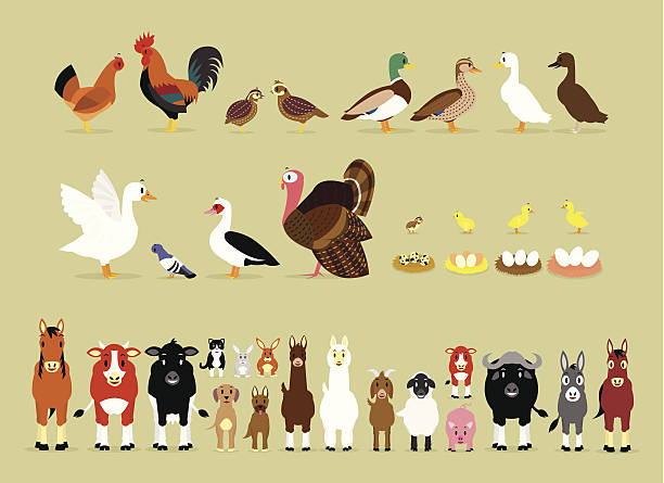 Cartoon Farm Characters (Part 2) Cute Cartoon Farm Animal Characters including Birds (Hen, Rooster, Brown Quails, Mallard Ducks, Domestic Ducks, Goose, Pigeon, Muscovy Duck, Turkey, also Baby and the eggs of Quail, Chicken, Duck, and Goose) and Mammals in Front View version (Sheep, Llama, Donkey, Goat, Alpaca, Pig, Horse, Cow, Mule, Calf, Cow, Buffalo, Great Dane Dog, German Shepherd Dog, Cat, Hare, and Rabbit) female animal stock illustrations