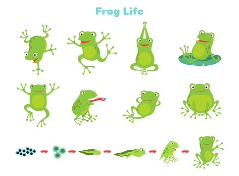 Cartoon frog. Cute green frogs, isolated wild animal in different poses. Life cycle, biology vector illustration