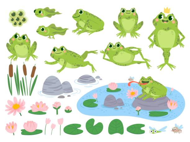 Cartoon frogs. Green cute frog, egg masses, tadpole and froglet. Aquatic plants water lily leaf, toads wild nature life vector set Cartoon frogs. Green cute frog, egg masses, tadpole and froglet. Aquatic plants water lily leaf, toads wild nature life vector set. Reed and flowers. Character on pond catching insect pond stock illustrations