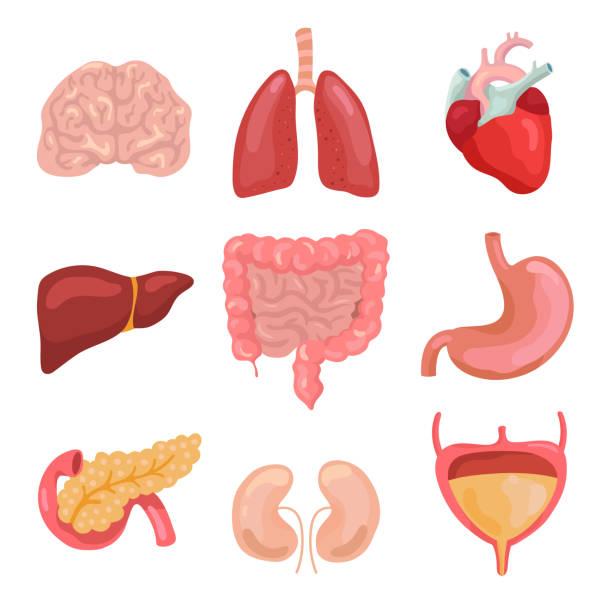 ilustraciones, imágenes clip art, dibujos animados e iconos de stock de dibujos animados de órganos del cuerpo humano. saludable: digestivo, circulatorio. iconos de anatomía del órgano para la carta médica vector set - órganos internos