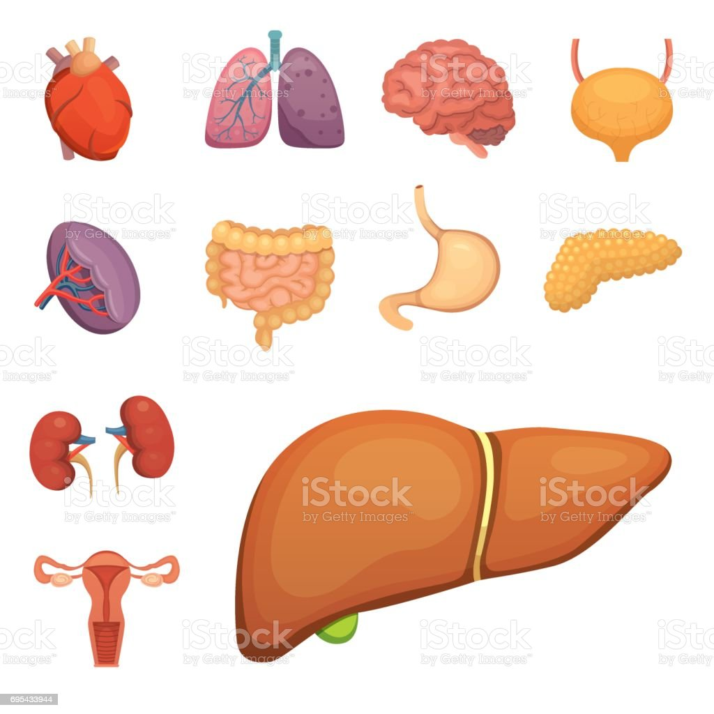 Cartoonmenschlichen Organensatz Anatomie Des Körpers ...