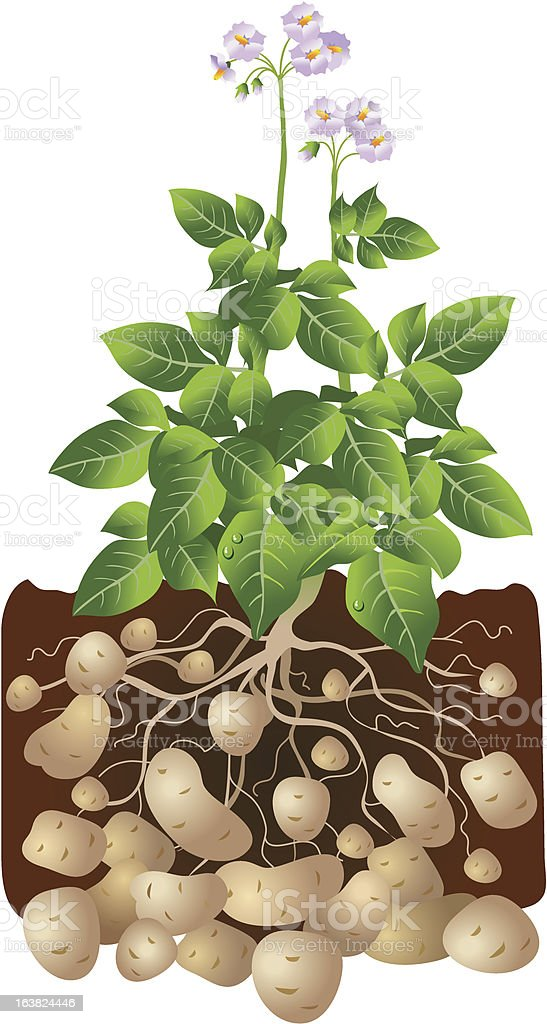 Cartoon illustration d potatoes growing underground vector art illustration
